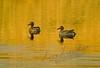 Birds, waterfowl, Aleutian green winged teal