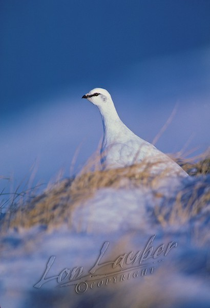 Birds, rock ptarmigan, Adak, Alaska