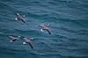 Birds, waterfowl, Emperor geese