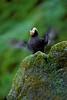 Birds, seabirds, tufted puffin