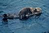 Mammals, sea otter, Adak, Alaska