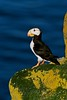 Birds, seabirds, horned puffin, Fratercula corniculata, sitting on rocks, sea cliff,