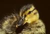 Birds, waterfowl, Aleutian green winged teal, duckling