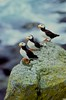 Birds, seabirds, horned puffin