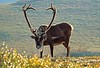 Adak, Alaska, caribou, scenery,