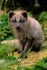 Mammals, blue phase arctic fox, Adak, Alaska