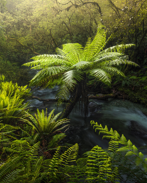 Tree Fern in the rainforest