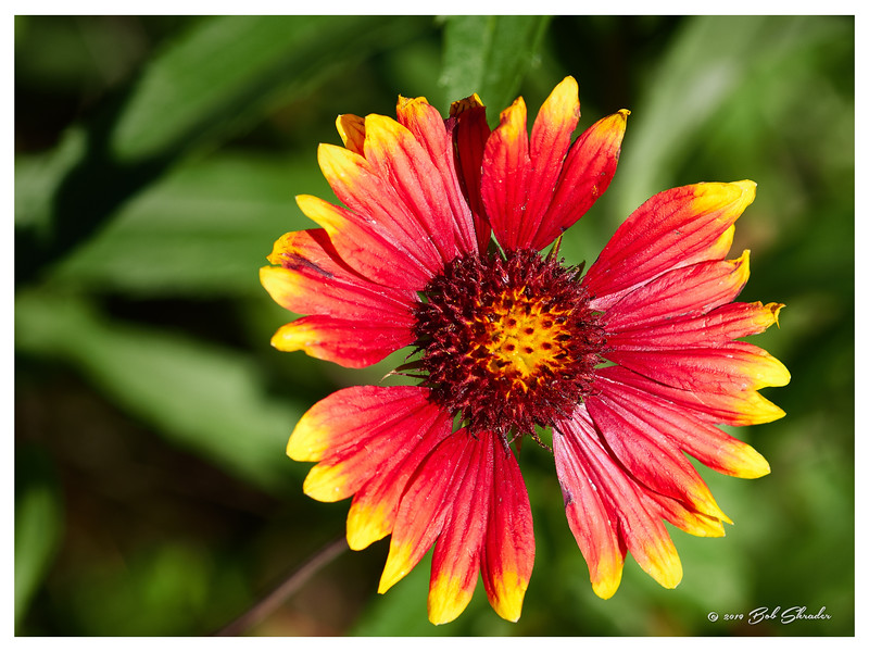 Early Spring Indian Blanket
