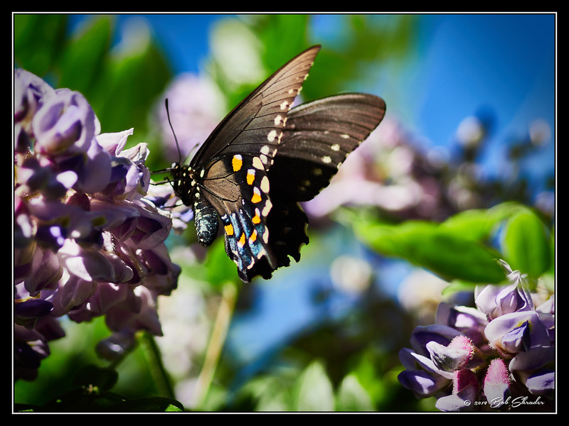 Butterfly on American Wisteria