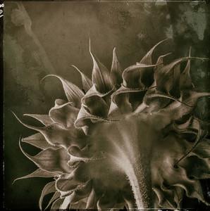 Sunflower 24