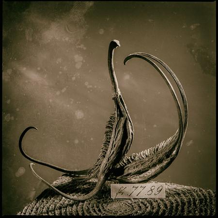 Devil's Claw 8