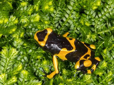 Bumble bee dart frog (Dendrobates leucomelas) captive