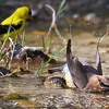 Busy day at the cold water spring - Cedar Waxwing and Goldfinch