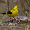 American Goldfinch at the water cooler