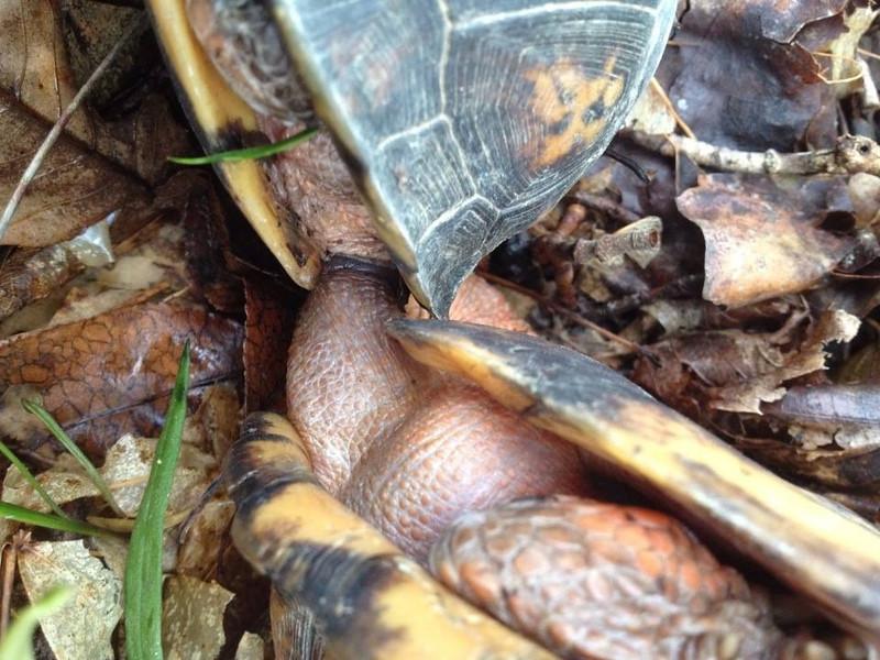 Box Turtles Mating, April 2014.