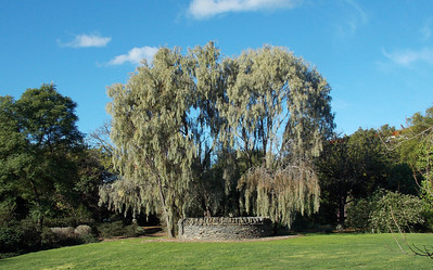 A blue gum next to an old stone covered water tank