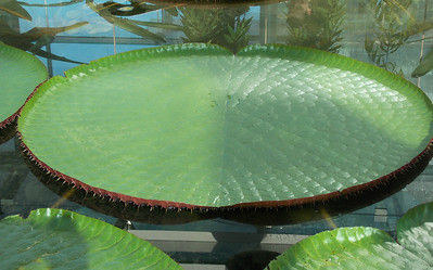 The leaf of the waterlily