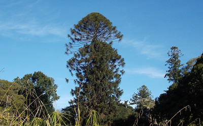 A pine tree reaching for the stars