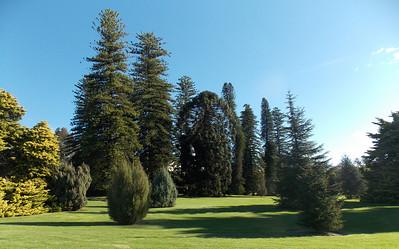 Araucaria Avenue  is where the pines trees grow