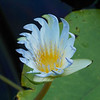 The exotic Amazon Waterlily