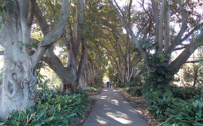 Murdoch Avenue from the garden end. An avenue of wild fig trees.