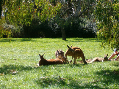 Red roos - by the afternoon they are stuffed from all the feeding.