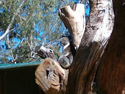 Too many Eucalyptus leaves.