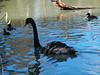 Black Swan is found over most of Australia
