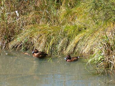 Blue Bill Ducks
