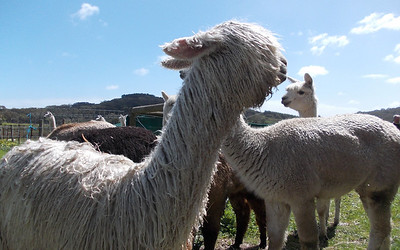 My name is Holly and I am a Suri Alpaca - my fleece is almost as valuable as gold.