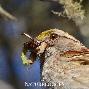 White-throated Sparrow with Food