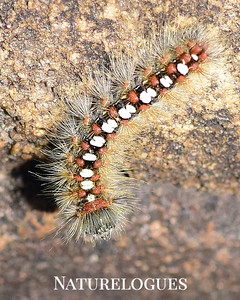 Satin Moth Caterpillar