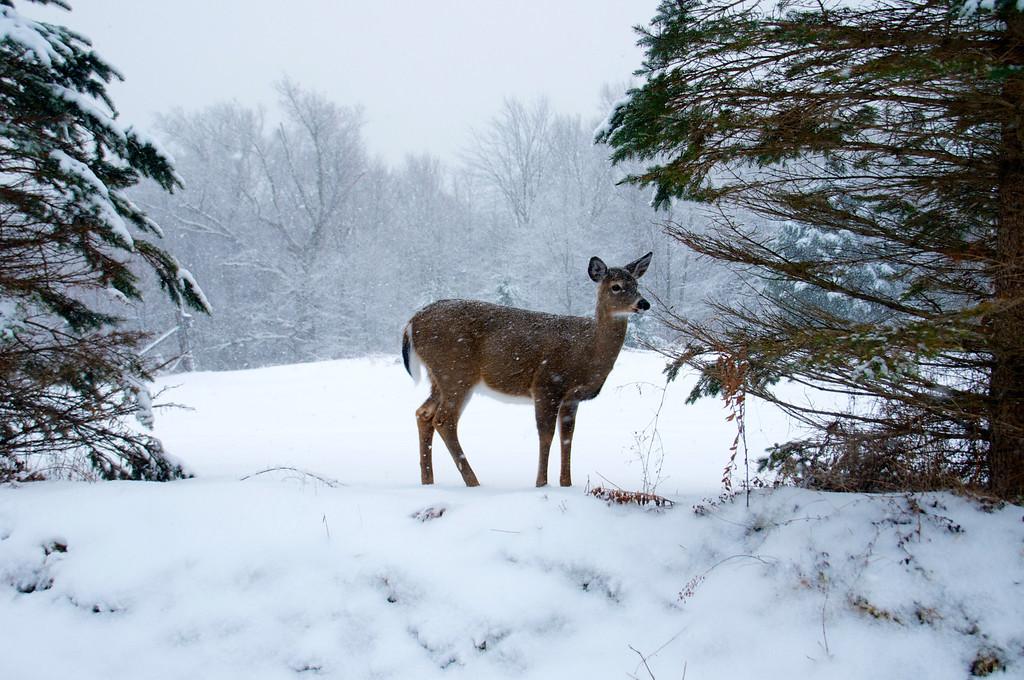 Deer along Big Moose Road