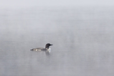 Foggy morning loon on Lake Eaton