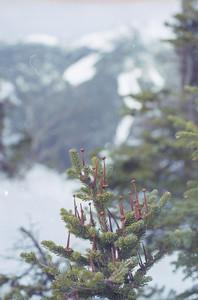 Balsam fir budding atop Colden
