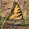 Adirondacks Forked Lake Swallowtail Butterfly 2 June 2019