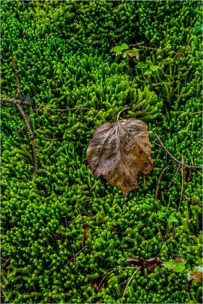 Adirondacks July 2015 Grassy Pond Trail Leaf on Moss