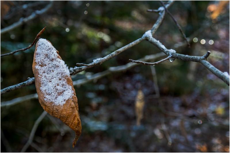 Adirondacks Long Lake November 2015 Leaf on Branch at Sabattis Road 1