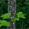 Adirondacks Merrill NY June 2012 Maple and Spruce