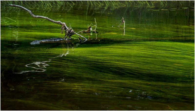 Adirondacks North Branch Moose River Grasses 34 July 2016