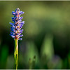Adirondacks Forked Lake Pickerel Weed 8 August 2016