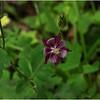 Adirondacks Merrill NY June 2012 Purple Flower