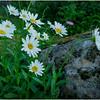 Adirondacks Chateaugay Lake Jennifer's Flowers 4 July 2016