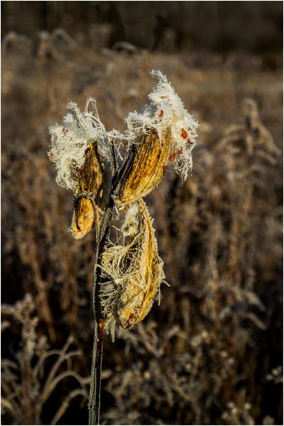Adirondacks North Creek November 2015 Austin Pond Milkweed Frost 8