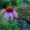 Adirondacks Chateaugay Lake Jennifer's Flowers 5 July 2016