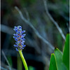 Adirondacks Forked Lake Pickerel Weed 2 August 2016