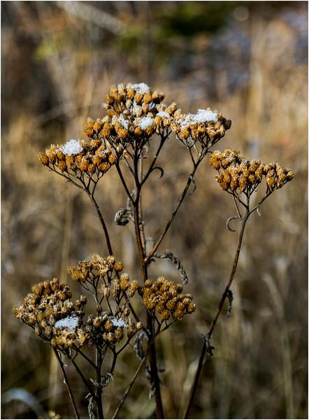 Adirondacks Long Lake November 2015 Frost on Weeds at Sabattis Road 3