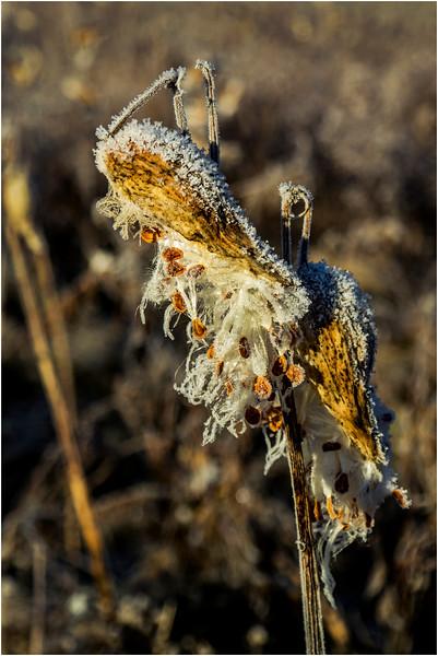 Adirondacks North Creek November 2015 Austin Pond Milkweed Frost 4
