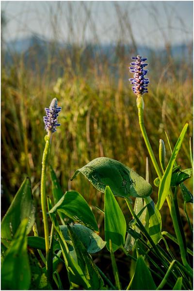 Adirondacks Forked Lake Pickerel Weed 17 August 2016