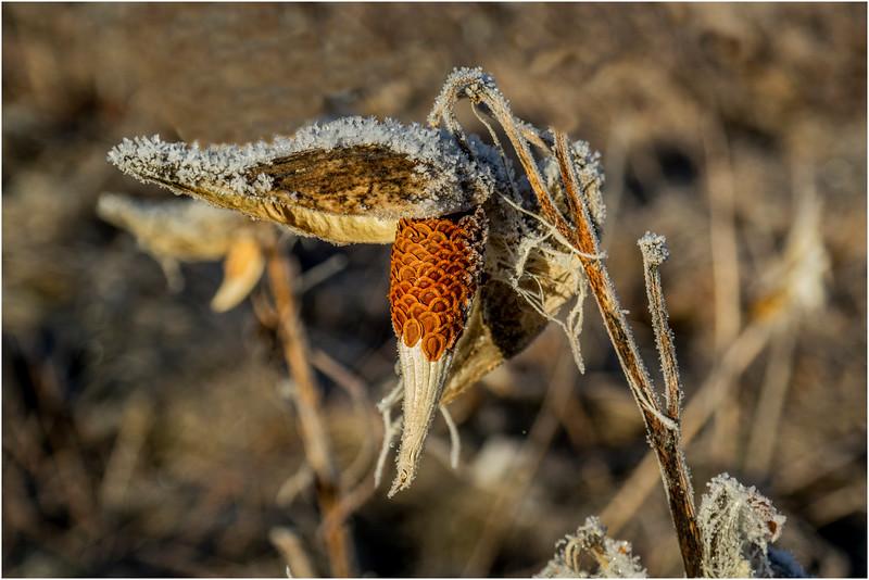 Adirondacks North Creek November 2015 Austin Pond Milkweed Frost 9